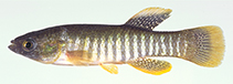 Image of Fundulus grandis (Gulf killifish)