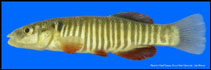 Image of Fundulus kansae (Northern plains killifish)