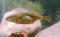 Image of Gasterosteus aculeatus (Three-spined stickleback)