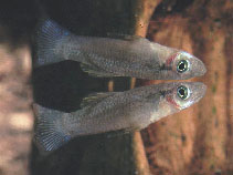 Image of Gambusia melapleura (Striped gambusia)