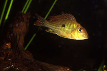 Image of Geophagus abalios