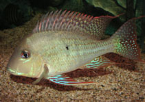 Image of Geophagus altifrons