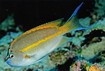 Image of Genicanthus bellus (Ornate angelfish)