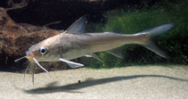 Image of Genidens genidens (Guri sea catfish)