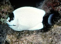 Image of Genicanthus personatus (Masked angelfish)