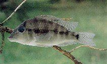 Image of Geophagus steindachneri (Redhump eartheater)