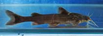 Image of Glyptothorax deqinensis