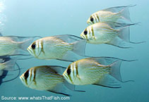 Image of Glaucosoma magnificum (Threadfin pearl-perch)