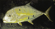 Image of Gnathanodon speciosus (Golden trevally)