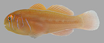 Image of Gobiodon bilineatus (Two-lined coralgoby)