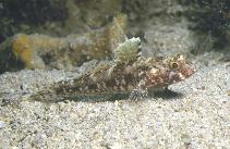 Image of Gobius cruentatus (Red-mouthed goby)