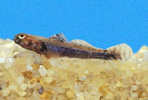 Image of Aboma etheostoma (Scaly boy)