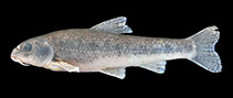 Image of Gobio hettitorum (Anatolian gudgeon)