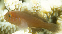 Image of Gobiodon quinquestrigatus (Five-lined coral goby)