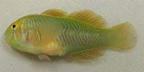 Image of Gobiodon rivulatus (Rippled coralgoby)