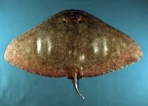 Image of Gymnura altavela (Spiny butterfly ray)