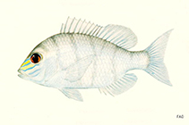 Image of Gymnocranius frenatus (Yellowsnout large-eye bream)