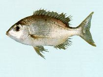 Image of Gymnocranius griseus (Grey large-eye bream)