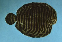 Image of Gymnachirus melas (North American naked sole)