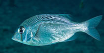 Image of Gymnocranius microdon (Blue-spotted large-eye bream)
