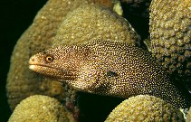 Image of Gymnothorax miliaris (Goldentail moray)