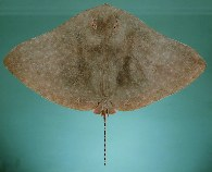 Image of Gymnura poecilura (Long-tailed butterfly ray)