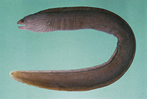 Image of Gymnothorax pseudoherrei (False brown moray)