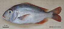 Image of Gymnocranius satoi (Blacknape large-eye bream)