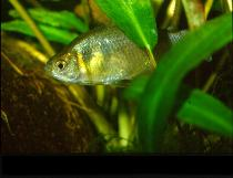 Image of Gymnocorymbus thayeri (False black tetra)