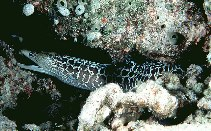 Image of Gymnothorax undulatus (Undulated moray)