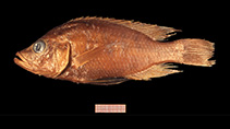 Image of Haplochromis acidens