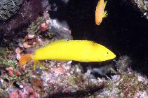 Image of Halichoeres chrysus (Canary wrasse)