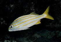 Image of Haemulon chrysargyreum (Smallmouth grunt)