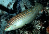Image of Halichoeres cosmetus (Adorned wrasse)