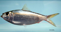 Image of Harengula jaguana (Scaled herring)