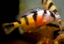 Image of Haplochromis latifasciatus