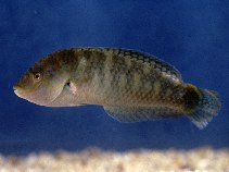 Image of Halichoeres nigrescens (Bubblefin wrasse)