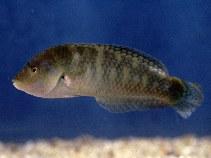 Image of Halichoeres nigrescens (Bubblefin wrasse)
