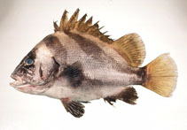 Image of Hapalogenys nigripinnis (Short barbeled velvetchin)