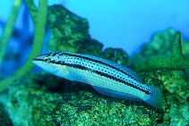 Image of Parajulis poecilepterus