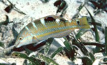 Image of Halichoeres radiatus (Puddingwife wrasse)