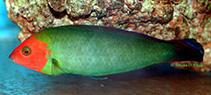 Image of Halichoeres rubricephalus (Redhead wrasse)
