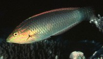 Image of Halichoeres solorensis (Green wrasse)