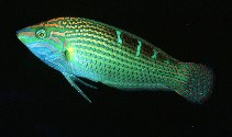Image of Halichoeres vrolikii (Indian Ocean pinstriped wrasse)