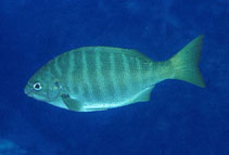 Image of Kyphosus azureus (Zebra-perch sea chub)