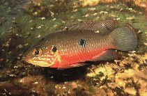 Image of Hemichromis bimaculatus (Jewelfish)