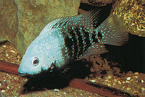 Image of Herichthys carpintis (Lowland cichlid)
