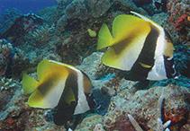 Image of Heniochus monoceros (Masked bannerfish)
