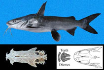 Image of Occidentarius platypogon (Cominate sea catfish)