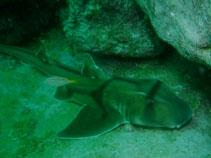 Image of Heterodontus portusjacksoni (Port Jackson shark)